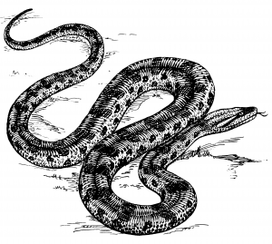 An anaconda